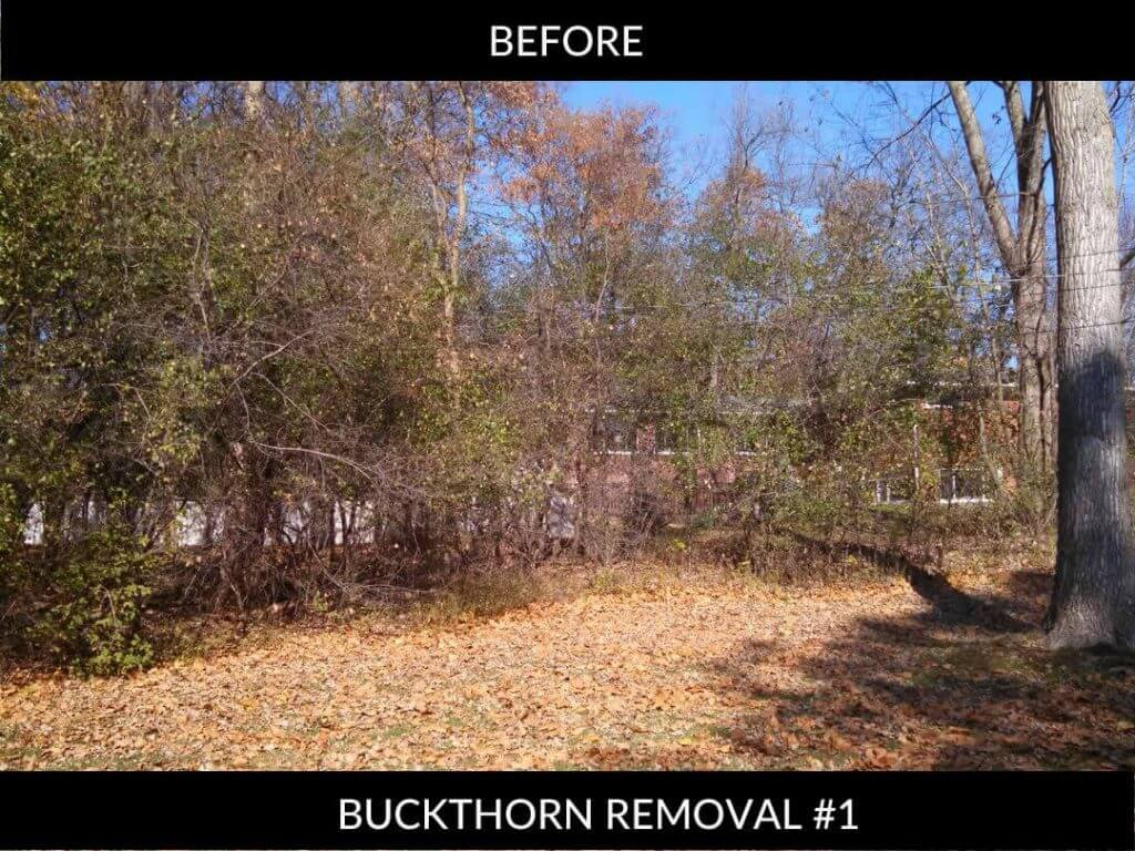 Buckthorn removal BEFORE #1
