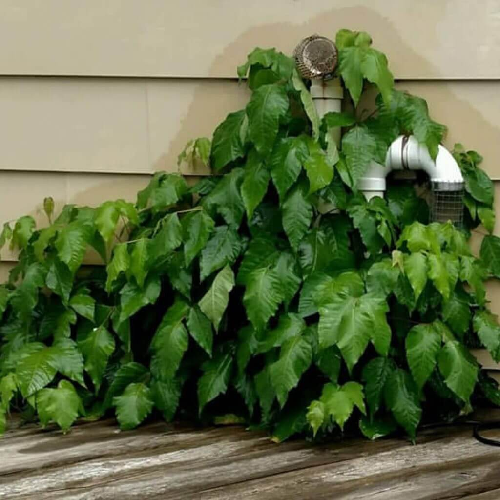Poison Ivy on a deck