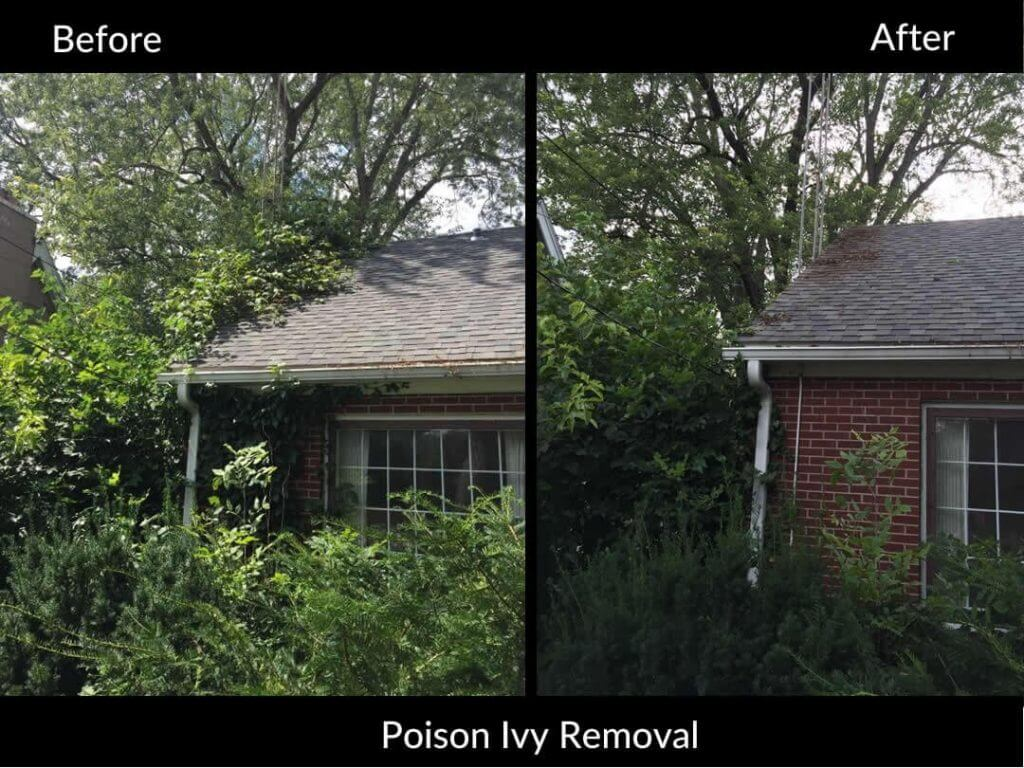 Poison Ivy removal before and after