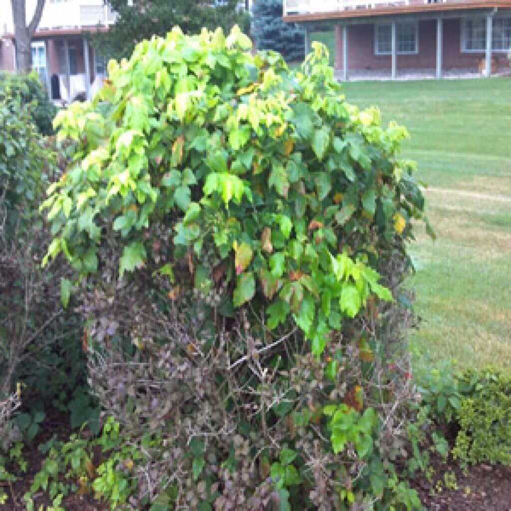 Poison Ivy growing in and on top of a bush